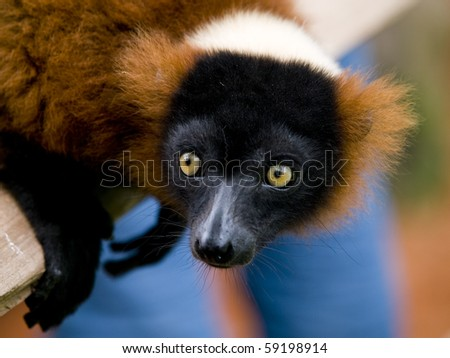 Close up of a red ruffed lemur with bright yellow eyes