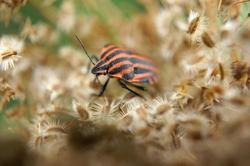 Close-up of a red strip bug