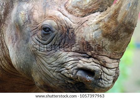 Close up of a rhino