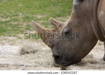 Close up of a Rhino eating grass, head only