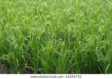 Close up of a rice field, Bali, Indonesia.
