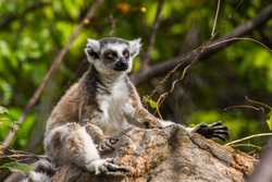 Close up of a ring-tailed lemur in Madagascar, Africa