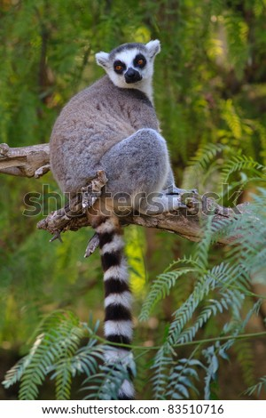 close-up of a ring-tailed lemur in natural habitat