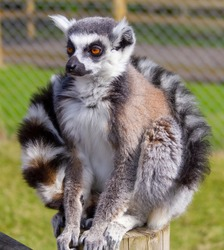 Close up of a ring tailed lemur sitting on a wooden post with its tail wrapped around its shoulders. Cute.