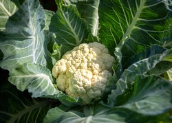 Close-up of a ripe Cauliflower (Brassica oleracea var. botrytis) growing.