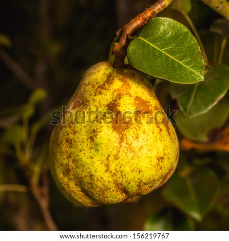 Close up of a ripe pear hanging from a tree. Square format.