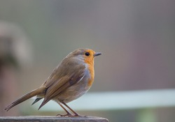 close up of a robin redbreast on a wooden bird feeder table
