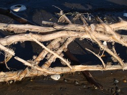Close up of a root that washed up in the tide.  The root sections create a crosshatch pattern against the dark sand.