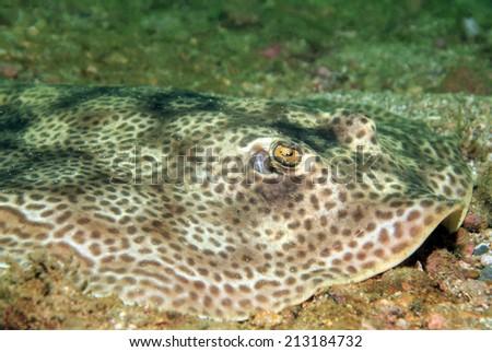Close-up of a Round Stingray (Urolophus Halleri?? aka Hallers Round Ray), Catalina Islands, Costa Rica
