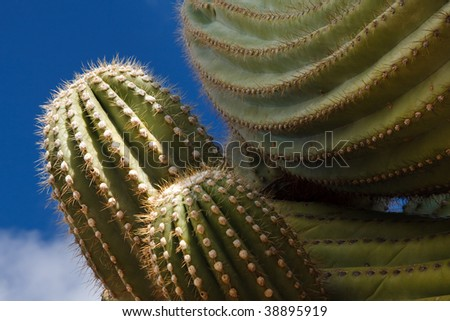 Close-up of a Saguaro Cactus at Saguaro National Park, Tucson, Arizona. Blue sky.