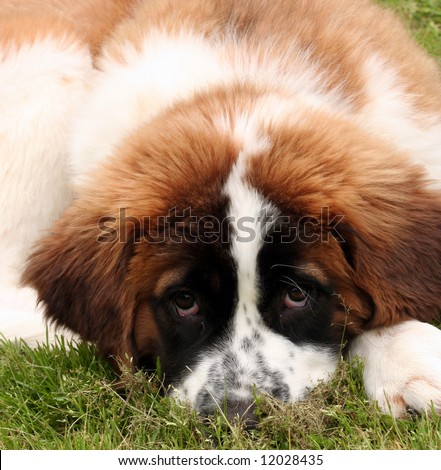 Close up of a Saint Bernard puppy