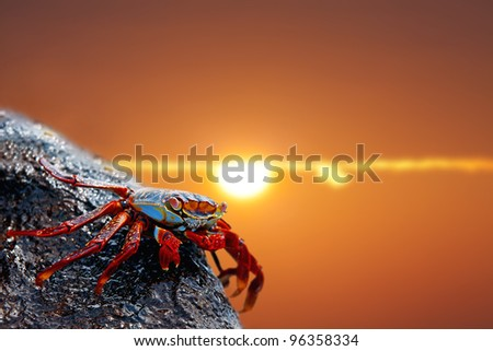 Close up of a Sally lightfoot crab in the sunset