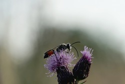 Close-up of a sand wasp on a flower