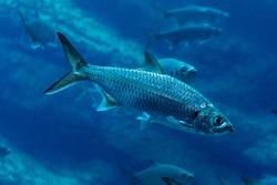 Close=up of a sardine swimming in dark blue water