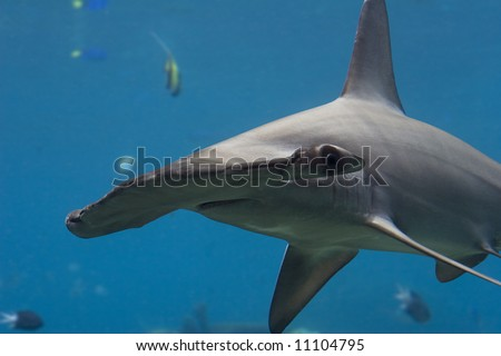 Close-up of a Scalloped Hammerhead Shark (Sphyrna lewini) with fish in the blue background.