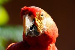 Close-up of a Scarlet Macaw (Ara Macao). Tambopata, Amazon Rainforest, Peru