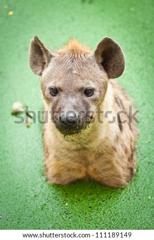 Close up of a scruffy spotted hyena's face