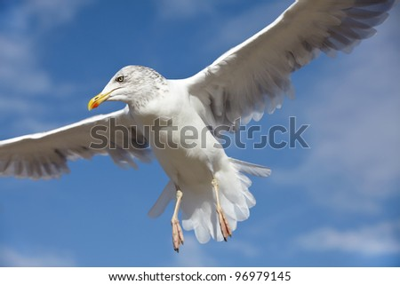 Close-up of a seagull in flight on a blue sky