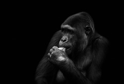 Close-up of a senior silverback gorilla isolated on black background. Black and white portrait of monkey or great ape eating.
