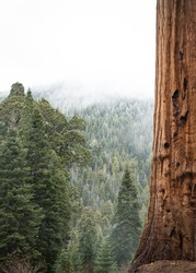 Close up of a Sequoia Tree Trunk with green trees and fog in background