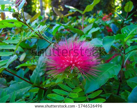 Close-up of a shaving brush tree (Pseudobombax ellipticum) blossom on Caribbean garden near Ocho Rios, Jamaica Foto stock ©