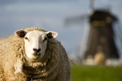 Close-up of a sheep. An old windmill is present in the background