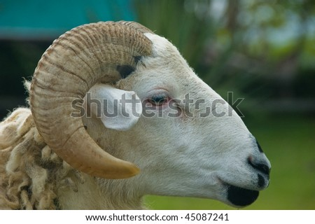 Close up of a sheep's head - stock photo