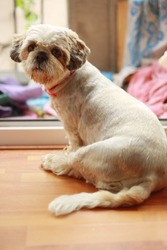 Close-up of a Shih Tzu breed dog after a haircut in a house.