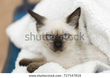 Close-up of a siames kitten on a white blanket #727547818
