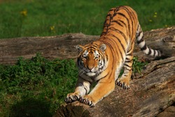 Close-up of a Siberian tiger stretching out on a tree