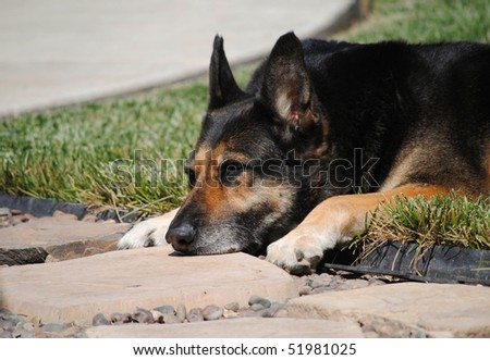 close up of a sleepy german shepherd