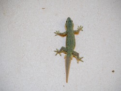 Close up of a small lizard on the wall of the house