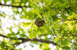 Close up of a small round paper wasp nest with a large opening hole hanging from a maple tree on a sunny day.