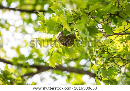 Photo of  Close up of a small round paper wasp nest with a large opening hole hanging from a maple tree on a sunny day.