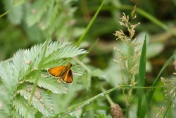 close up of a small skipper butterfly (Thymelicus sylvestris)