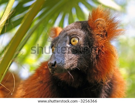 "Close-up of a so called ""red ruffed lemur""."