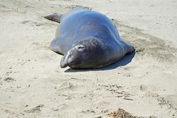 Close up of a southern elephant seal with shiney, wet body reflecting the blue sky, laying on tan colored sand under the bright sun off California's Pacific ocean shore.