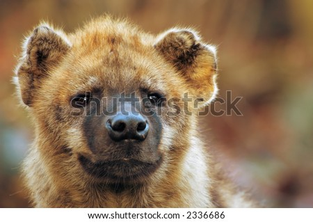 Close-up of a spotted hyena