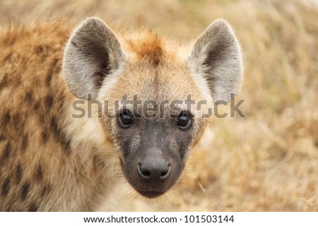 Close  up of a spotted hyena cub