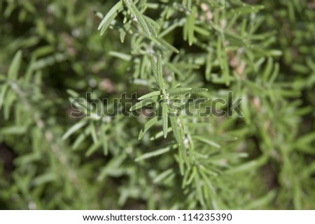 Close up of a sprig of the herb Rosemary growing in a garden