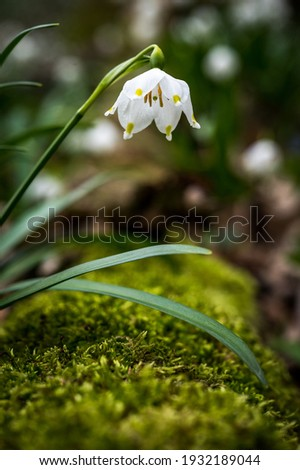 close up of a spring snowflake (german Märzenbecher, lat. Leucojum vernum) in Switzerland Stock foto ©