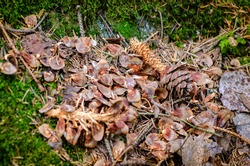 Close-up of a squirrel midden consisting of spruce cone remains in the forest in spring. Large heaps of the cone material created by squirrels eating cone seeds can accumulate during winter time.