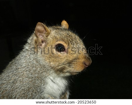 Close up of a squirrel on black background