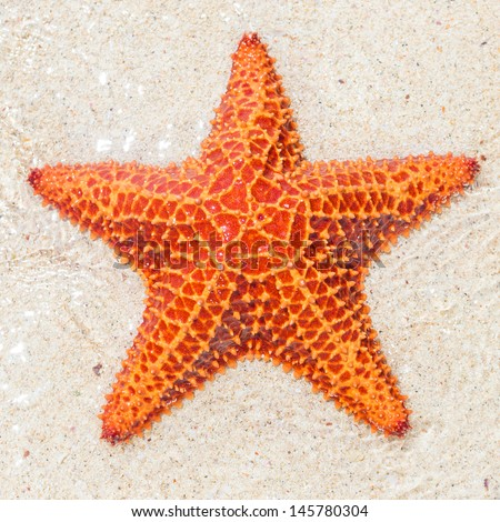 Close-up of a starfish (sea star) near the sandy shore of a tropical beach #145780304