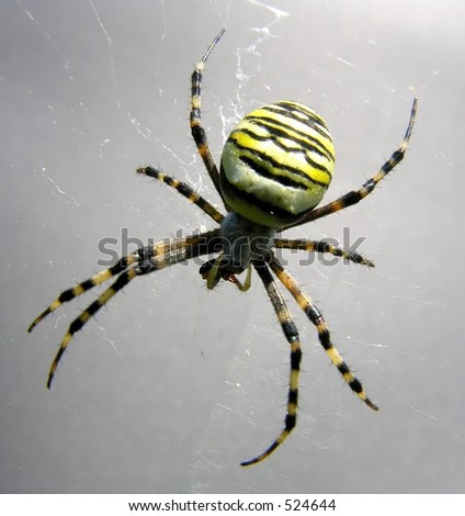 Close-up of a striped spider