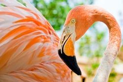 Close up of a stunning pink flamingo