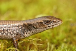 Close up of a subadult Southern Alligator Lizard, Elgaria multicarinata on green moss , found in Northern California