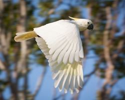 Close Up of a Sulfur Crested Cockatoo in Flight
