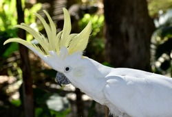 Close up of a sulfur-crested cockatoo with it's yellow crest erect, and a tropical forest background
