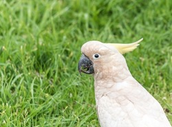Close up of a sulphur crested cockatoo, in Adelaide, Australia